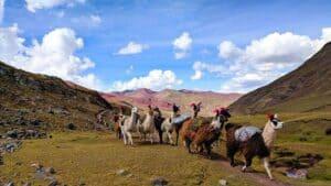 ausangate trek llamas